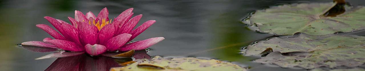 Coeur de nénuphar rose